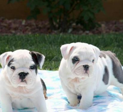 Cachorros de pura raza bulldog inglés.