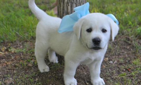 Cachorros de pura raza labrador disponibles.