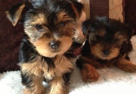 Cachorros yorkie para adopción