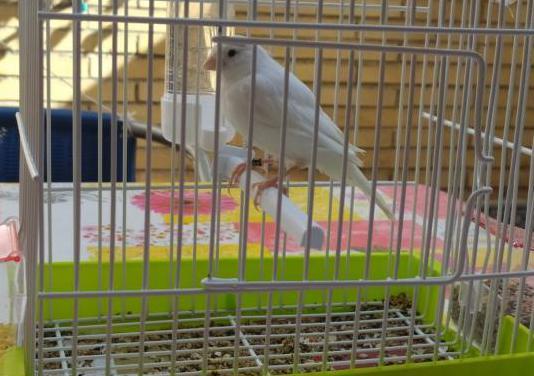Canario y jaula nueva