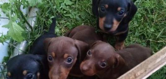 Disponibles cachorros teckel miniatura