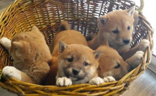 Estupendos cachorros de shiba inu