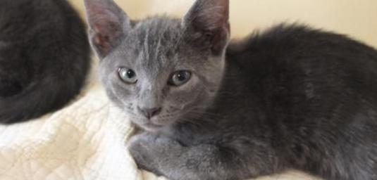Gatito gris azulado ejemplar único europeo