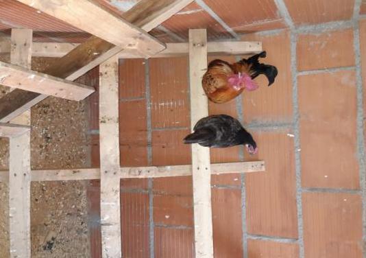 Gallinas y gallos americanos