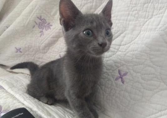 Gatita gris azulado ojos azules ejemplar unico
