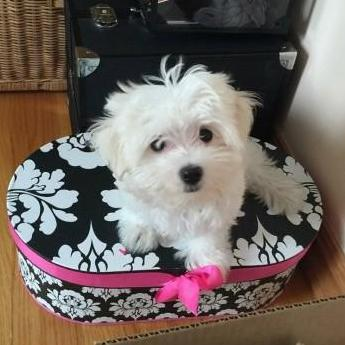 Micro lindo cachorros malteses