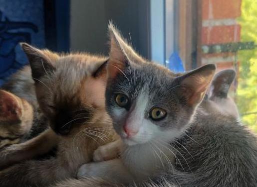 Sena gatito de 2 meses en adopción