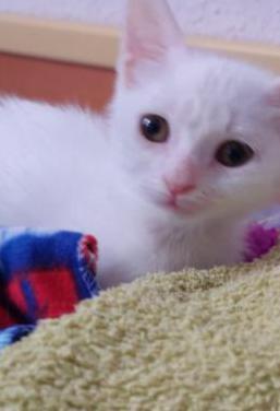 Vega gatita de 2 meses en adopción