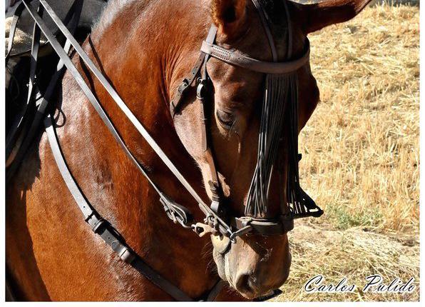 Venta de caballo pre en valladolid