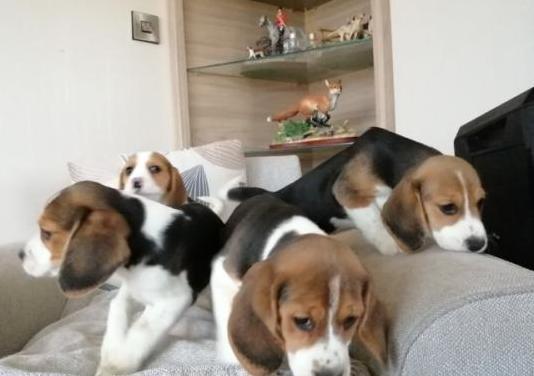 Cachorros de raza pura beagle
