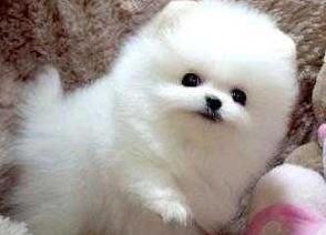 Cachorros pomeranian mini