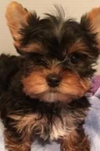 Cachorros yorkshire mini toy
