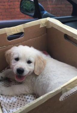 Disponibles golden retriever cachorros