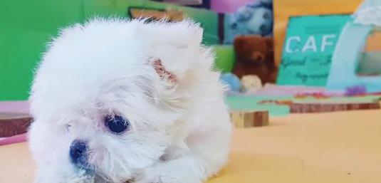 Mini juguete bichon maltes cachorro