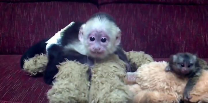 Nuestros monos y chimpancés son excelentes mascotas en casa