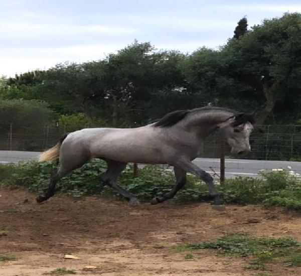 Venta de 3 caballos de pura raza española en cádiz