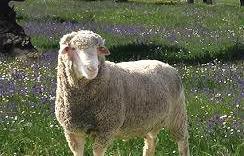 Compra de corderos merinos en zaragoza