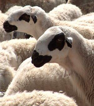 Compra de corderos ojinegros de teruel en zaragoza