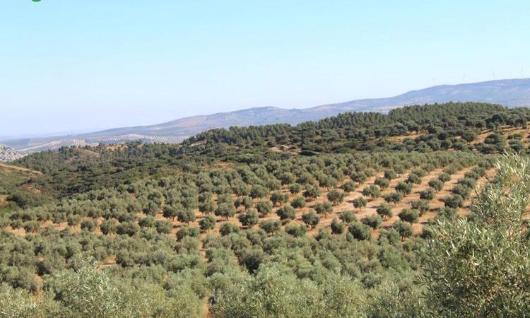 Venta de Finca de olivos en Málaga