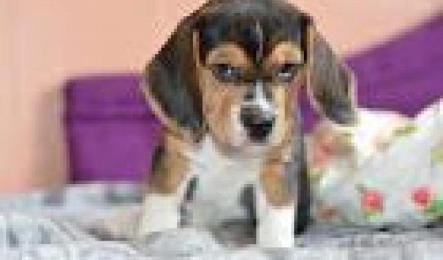 adopcion libre mini toy cachorros yorkshire