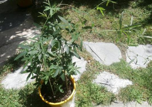 Plantas de pasiflora