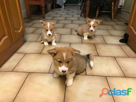 preciosos cachorros de pembroke welsh corgis