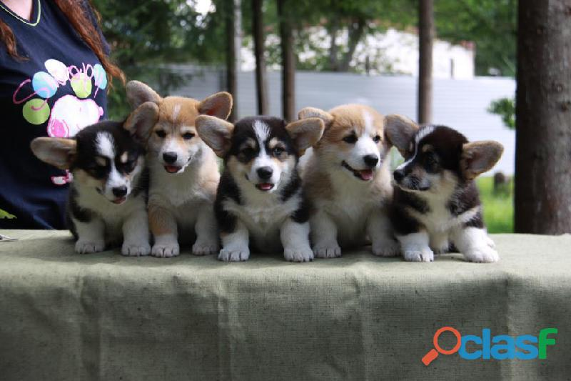 preciosos cachorros de pembroke welsh corgis 1