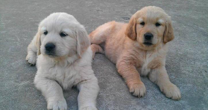 Champion golden retriever cachorros en venta swswde