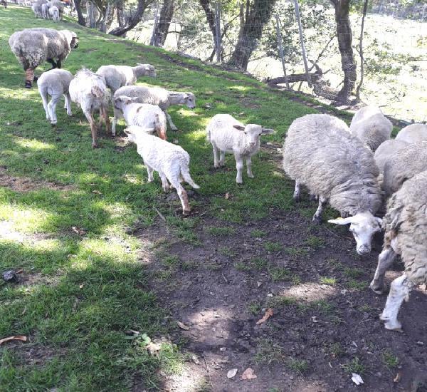 Venta de corderos en la coruña
