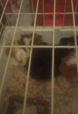 1 conejo y 2 cobayas bonitas soy de motril