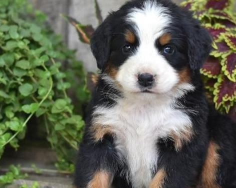 Bernese mountain dog en adopción