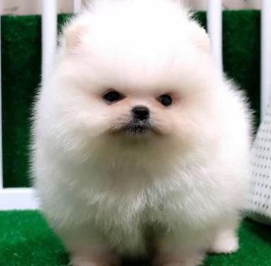 Cachorros pomerania para adopción