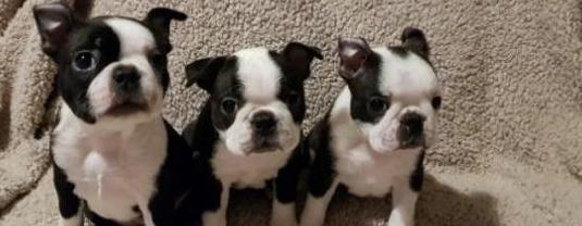 Cachorros de boston terrier en adopción