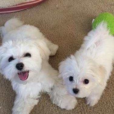 Cachorros de raza pura y hembras maltesas