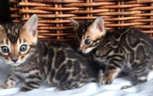 Camada gatitos de la raza bengal