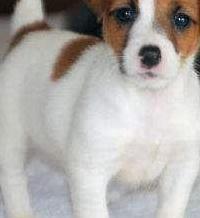 Disponemos de preciosos cachorros jack russell