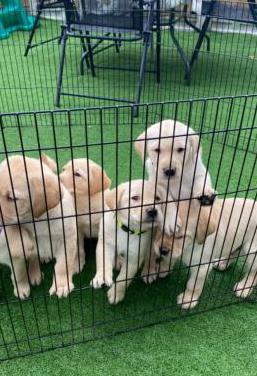 Estupendos cachorros de raza labrador