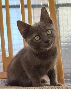 Gatito gris en adopción madrid