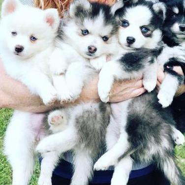 Geweldige pomsky en huskies-puppy's nu klaar
