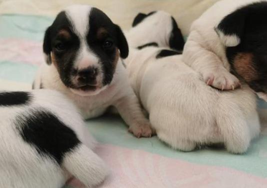 Jack russell terrier maravillosa camada55
