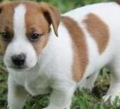 Magnificos ~cachorros jack russell terrier