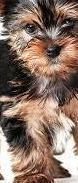 Preciosos cachorritos de yorkshire terrier