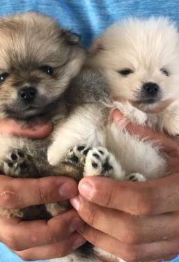 Regalo perritos de Pomerania