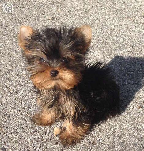 Cachorritos de yorkshire microtoy preciosos