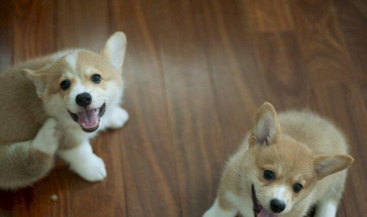 Los cachorros de corgi son buenos para el hogar