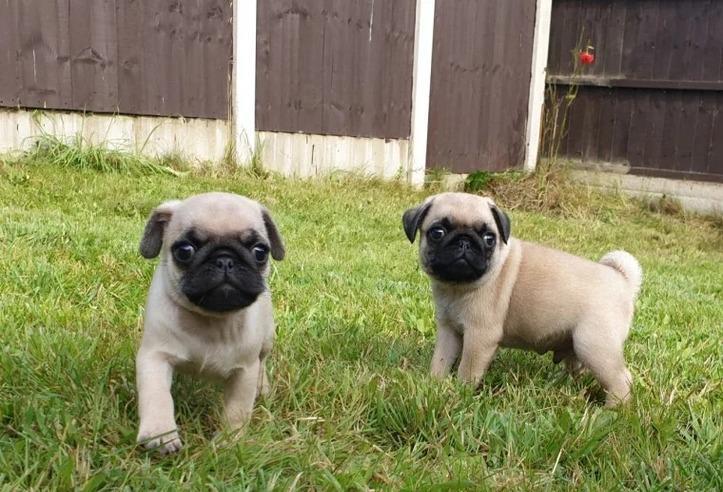 Preciosos cachorros de carlino...4