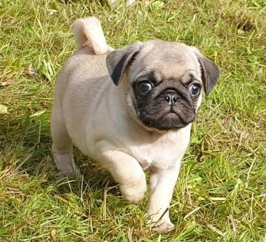 Preciosos cachorros de carlino,,.rr