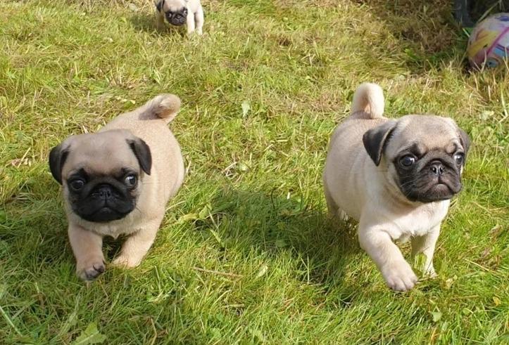 Preciosos cachorros1// de carlino