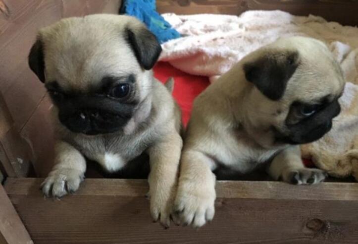 Preciosos cachorros1// de carlino 5