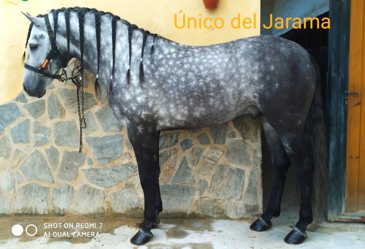 Venta de caballo pre en cádiz
